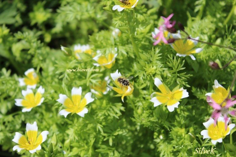 30042014 limnanthes douglasii