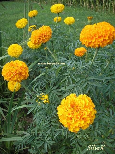 kadifice visoke tagetes erecta 11