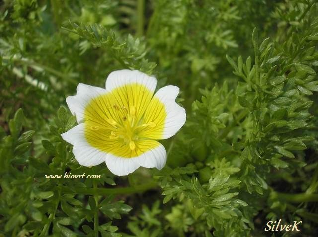 limnanthes douglasii 2