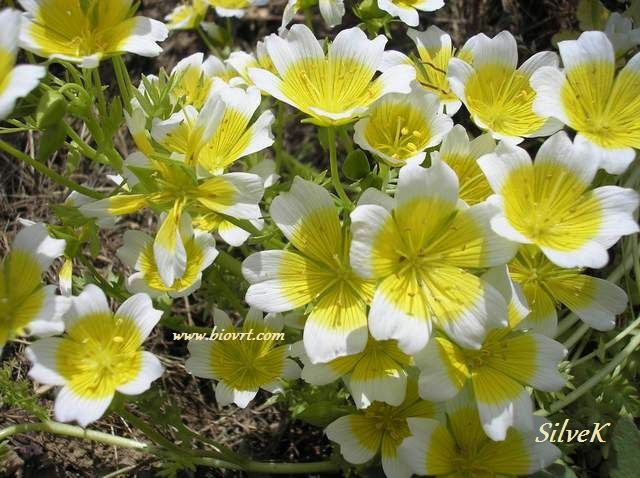 limnanthes douglasii 9