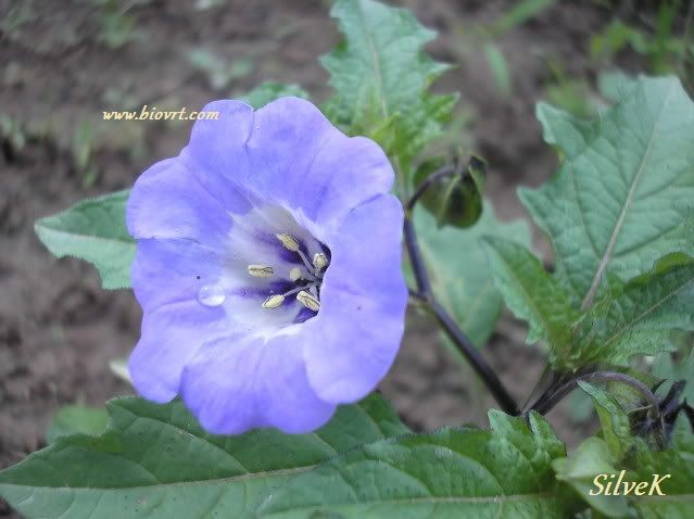 nicandra physalodes 1