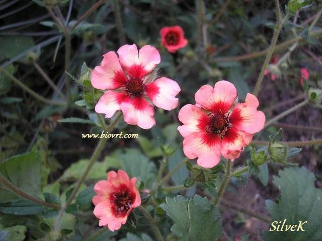 potentilla melton fire 51
