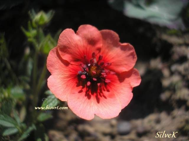 potentilla melton fire 71