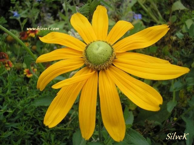 rudbeckia green eyes1