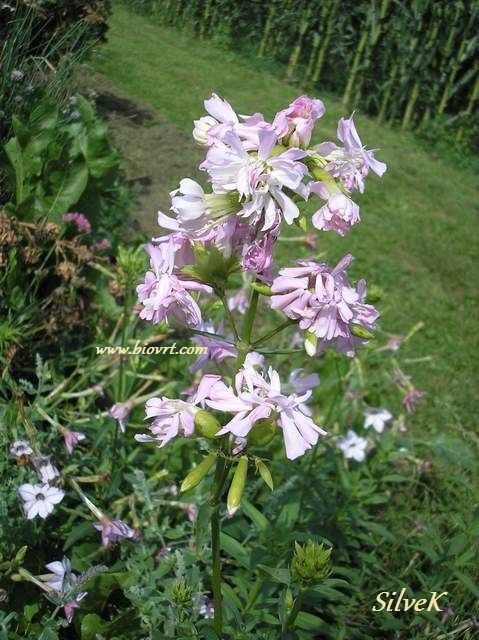 saponaria officinalis 2