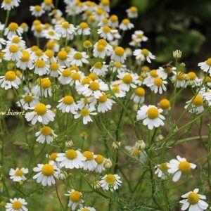 Ljekovito i začinsko bilje