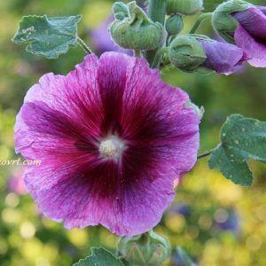 Dvogodišnje cvijeće